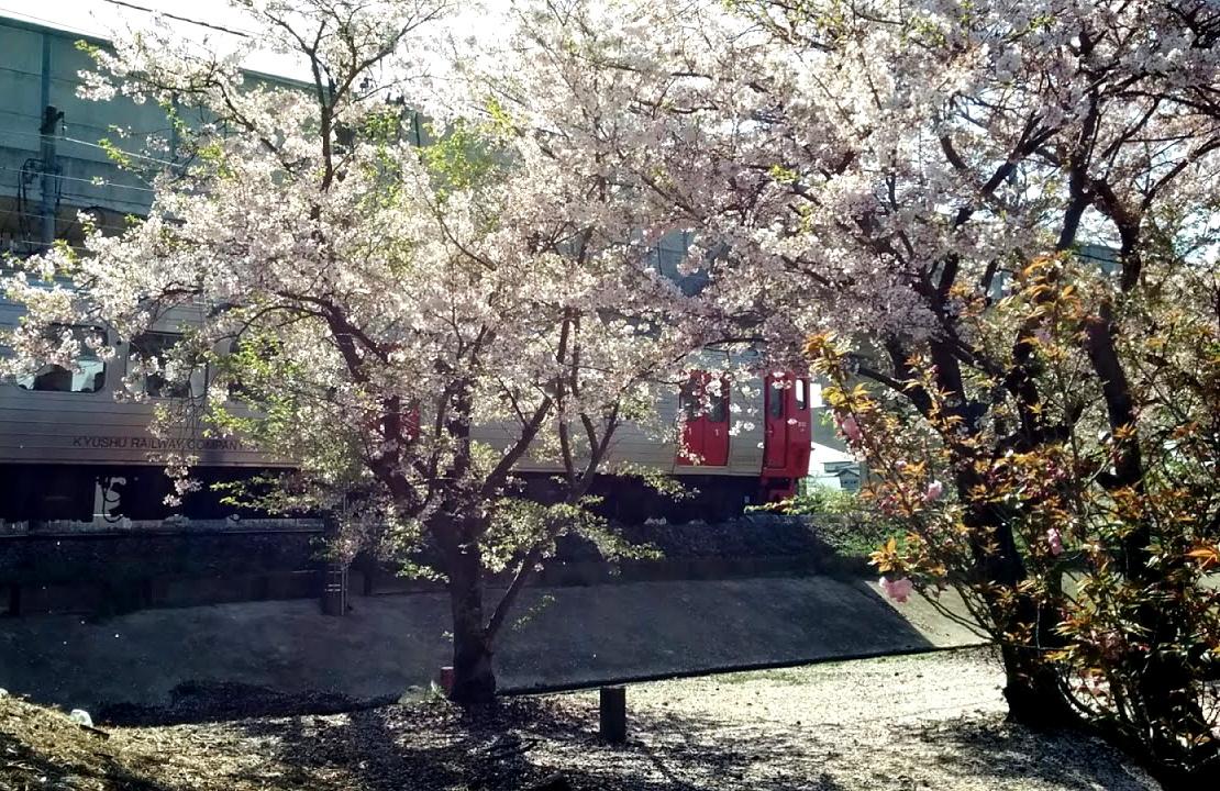 813系桜