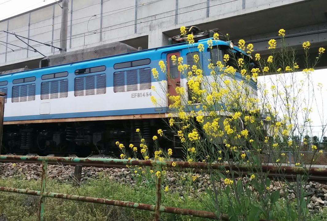 菜の花とEF81機関車