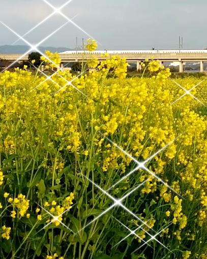 菜の花と新幹線