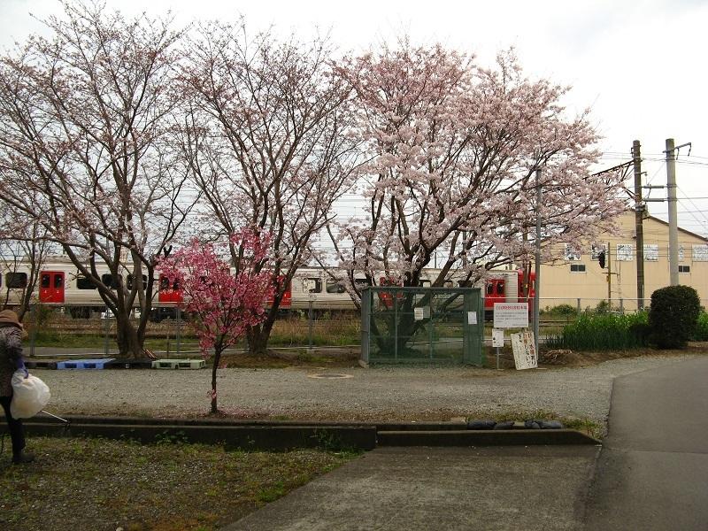 813系と桜
