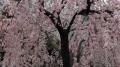 上野の桜2017(1)