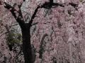 上野の桜2017(2)