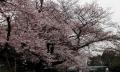 上野の桜2017(5-1)