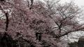 上野の桜2017(5-2)