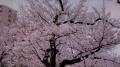錦糸公園の桜2017(1)