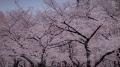 錦糸公園の桜2017(3)