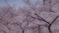 錦糸公園の桜2017(4)