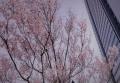 2017飯田橋の桜(1)