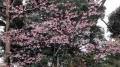 上野の桜2017(3)