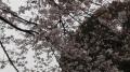 上野の桜2017(4)