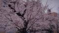 錦糸公園の桜2017(7)