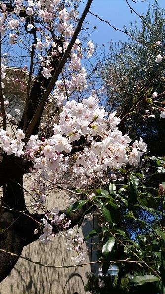 DSC_0821桜