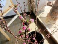 3月29日 桃の枝
