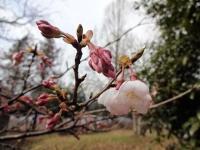3月29日 ロケセット裏の桜 1