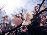ロケセット裏の桜 4月2日 その2