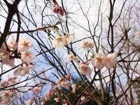 ロケセット裏の桜 4月2日