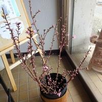 桃の花が開いた