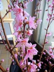 4月5日 桃の枝アップ
