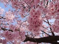 4月6日 駅前の高遠桜アップ