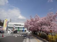 4月6日 駅前の高遠桜