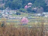 4月9日 わに塚の桜