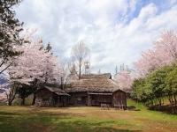 4月9日 ロケセットの桜