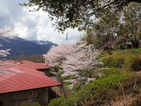 4月9日 静心寮の桜