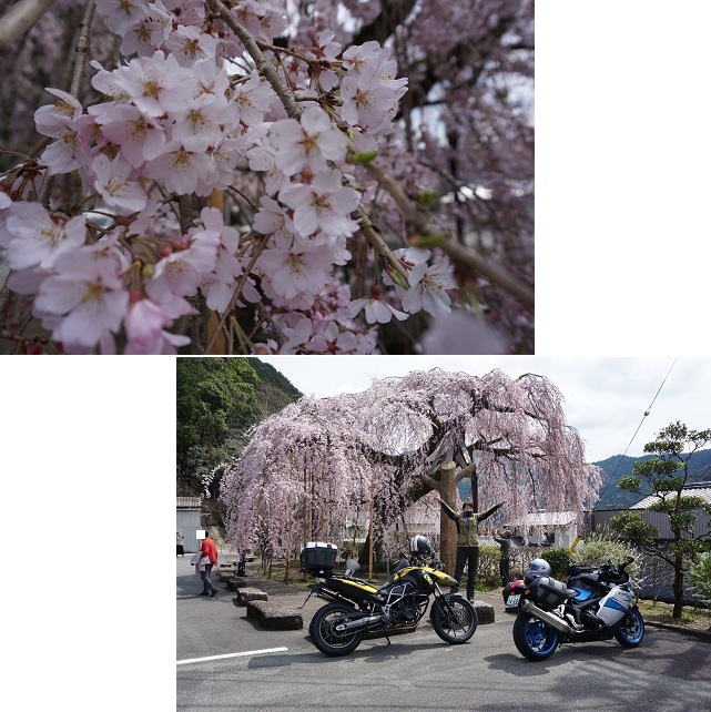 さらさら桜