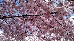 一気に桜満開