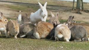 ウサギの楽園となった大久野島