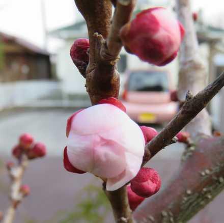 梅もうすぐ1