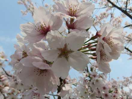 小城公園の桜 1