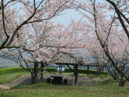 小城公園の桜 2