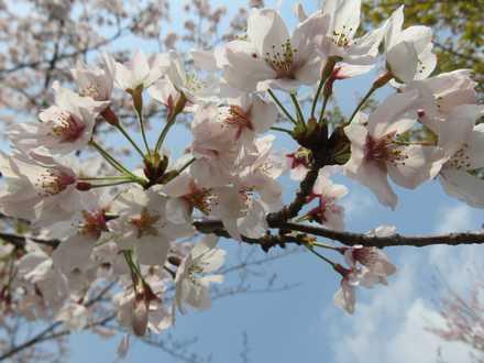 小城公園の桜 3