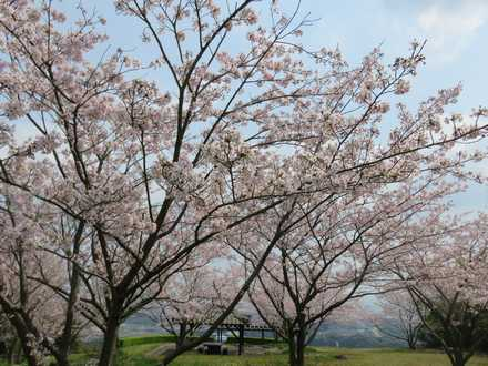 小城公園の桜 4