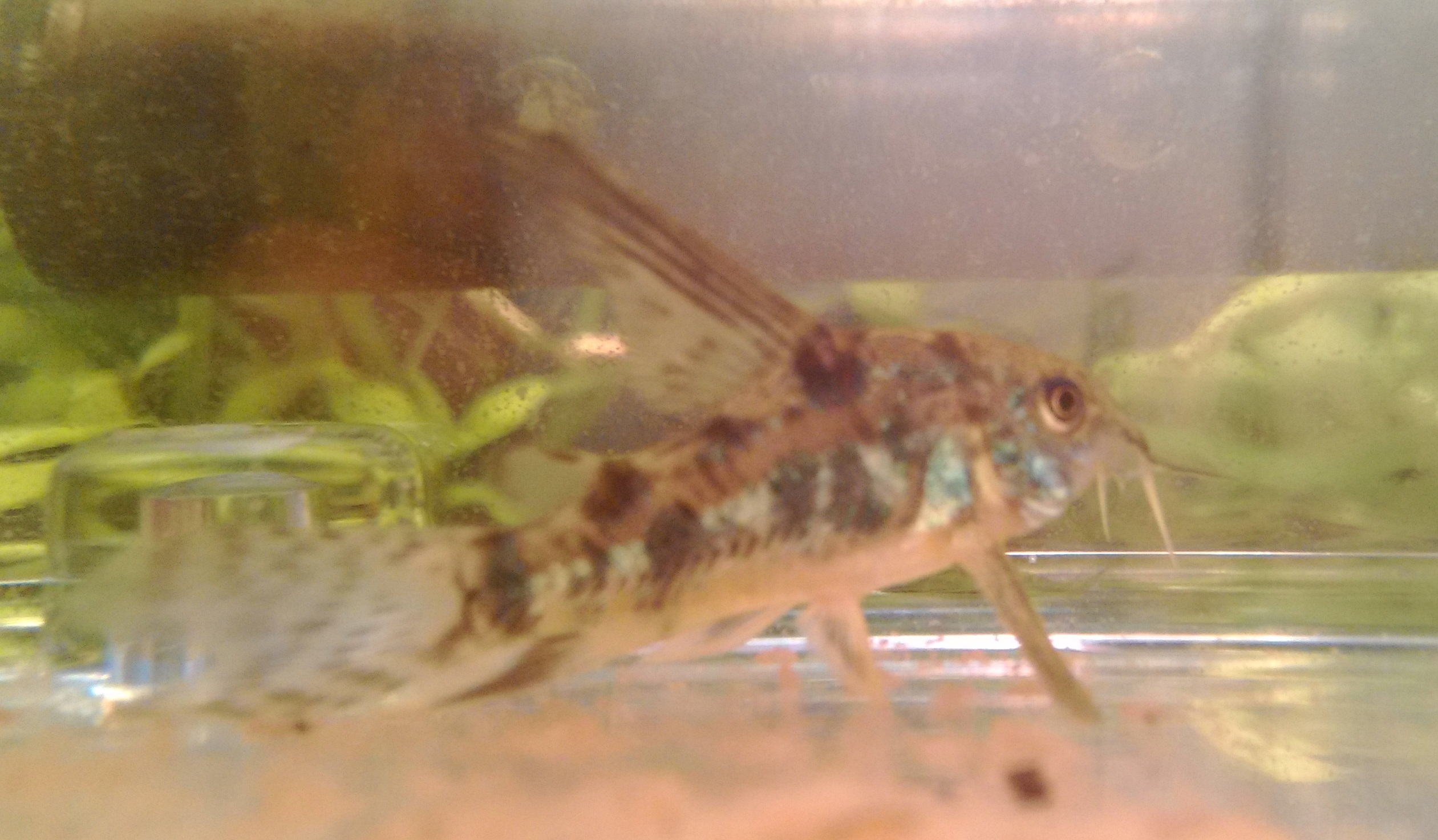 コリ 稚魚
