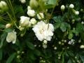 ナンフェア もっこうバラ ホワイト