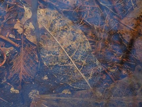 水底の葉フジ