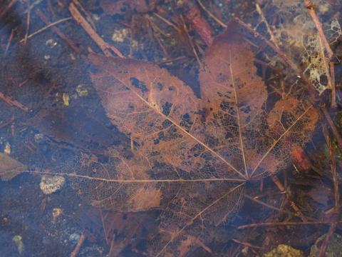 水底の葉モミジ
