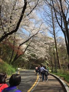 ソウルの桜1