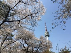 ソウルの桜2