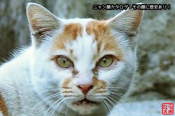 ニャン顔NO70 チャシロ猫さん