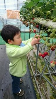 イチゴを摘むこばぶ