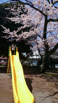 滑り台と桜の木