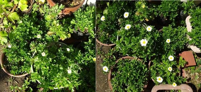 クリサンセマム,朝と昼の花の状態2