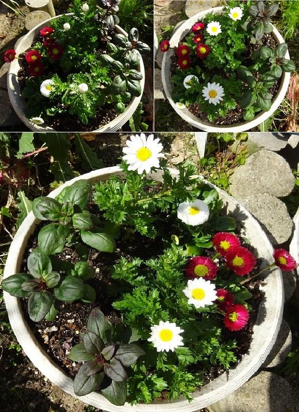 クリサンセマム,朝と昼の花の状態