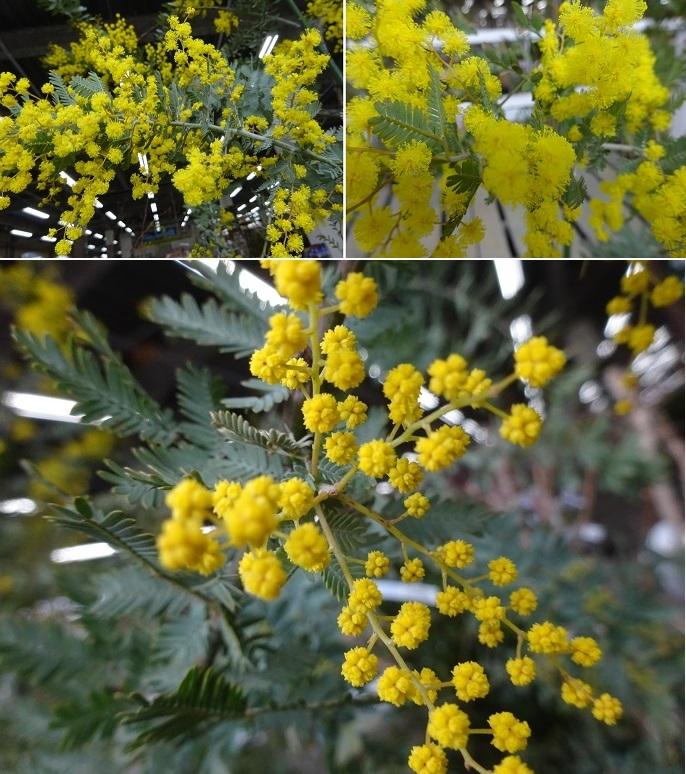 アカシヤの花