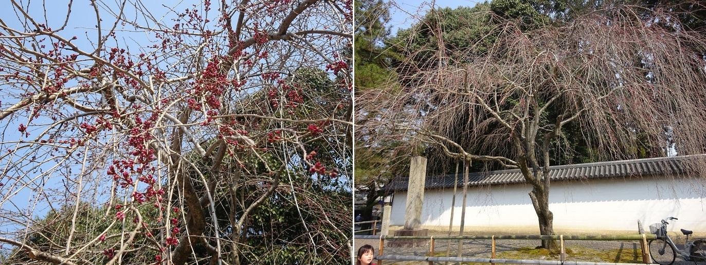 醍醐寺の桜つぼみ