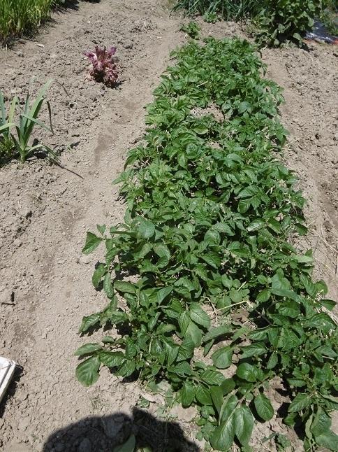 ジャガイモの成長