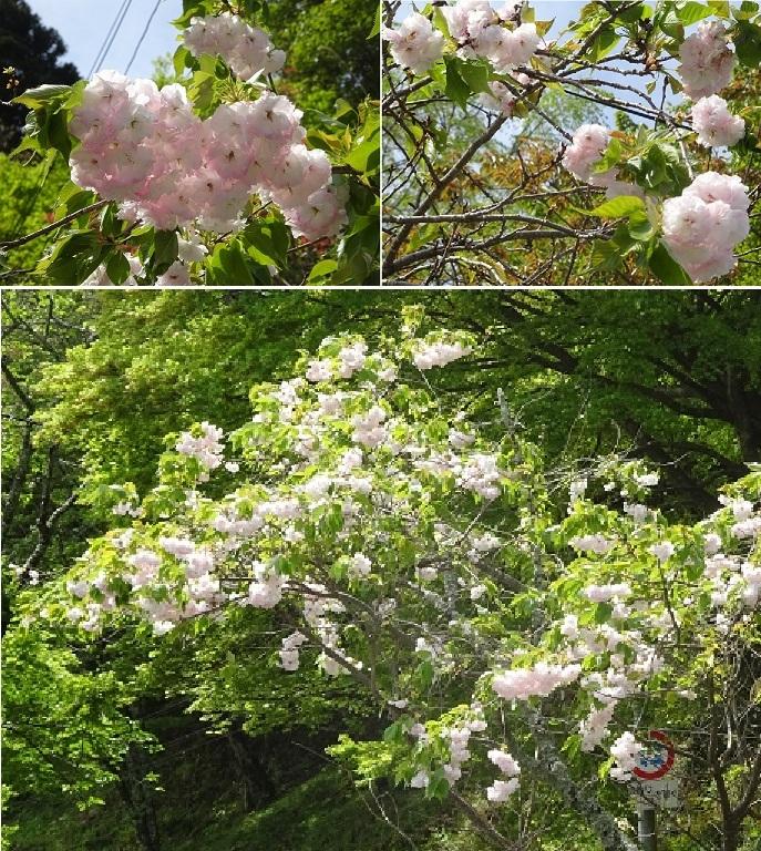 吉野山の八重桜